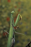 Mantis Religiosa (Praying Mantis)
