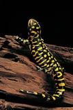 Ambystoma Tigrinum Tigrinum (Tiger Salamander)