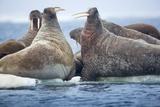 Walrus Herd  Hudson Bay  Nunavut  Canada