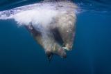 Underwater Walrus  Hudson Bay  Nunavut  Canada