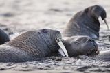 Walrus  Hudson Bay  Nunavut  Canada