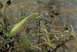 Mantis Religiosa (Praying Mantis) - Watching its Prey
