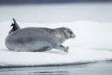Ringed Seal on Iceberg  Nunavut  Canada