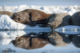 Walrus Herd on Sea Ice  Hudson Bay  Nunavut  Canada