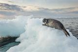 Ringed Seal Pup on Iceberg  Nunavut Territory  Canada