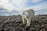 Polar Bear  Hudson Bay  Nunavut  Canada