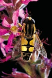 Helophilus Pendulus (Hoverfly  Sun Fly)