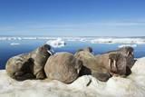 Walrus Herd on Iceberg  Hudson Bay  Nunavut  Canada