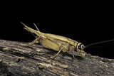 Acheta Domesticus (House Cricket)