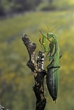 Mantis Religiosa (Praying Mantis) - Female Ready to Lay