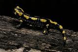 Salamandra Salamandra Terrestris (Fire Salamander)