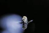 Culex Pipiens (Common House Mosquito) - Emerging (B3)