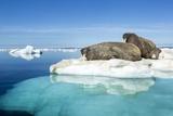 Walruses on Iceberg  Hudson Bay  Nunavut  Canada