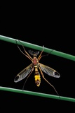 Ctenophora Ornata (Marked Crane Fly) - Male
