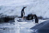 Leaping Gentoo Penguins on Wiencke Island  Antarctica