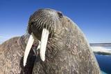 Walrus on Iceberg  Hudson Bay  Nunavut  Canada