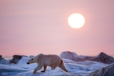 Midnight Sun and Polar Bear  Hudson Bay  Nunavut  Canada