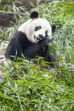 Giant Panda  Chengdu  China