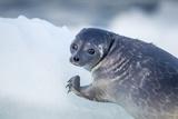 Ringed Seal Pup  Nunavut  Canada