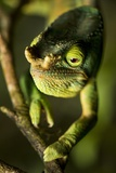 Parson's Chameleon  Andasibe-Mantadia National Park  Madagascar