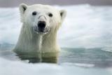 Polar Bear  Hudson Bay  Canada