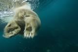 Underwater Polar Bear  Hudson Bay  Nunavut  Canada