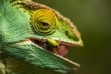 Parsons Chameleon Eats Grasshopper  Madagascar