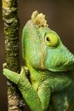 Parsons Chameleon  Andasibe-Mantadia National Park  Madagascar