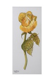 Single Yellow Rose Arthur Bell  2006