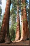 Bachelor Sequoia MariposaGrove
