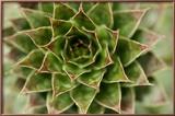 Sempervivum Succulent II