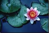 Lotus Flower & Waterlily Leafs