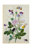 Galica Rose and Perennial Sweet Pea  Weevil  a Beetle and Butterflies
