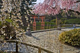 Cherry Blossoms in Japanese Garden