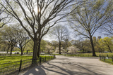 Central Park Walkway Trees and Squirrel (Springtime  Flowering Trees in an Urban Park)