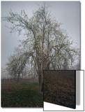 Apple Tree Chapel Hill - Apple Tree Blossoming North Carolina
