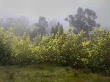 Flowering Acacia Trees in Fog