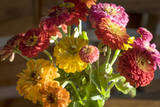 Zinnias  Close-Up (Still Life with Flowers)