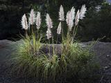 Pampas Grass (Native Grass  Oakland  CA)