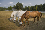 Three Horses Eating Grass (Southern Horse Farm  Chapel Hill  NC)