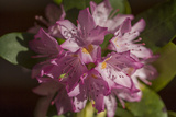 Pink Rhododendron Flower  Close-Up  (Spring Botanical)