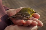 American Goldfinch in Hands