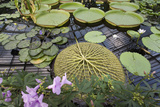 Lily Pads  Kew Gardens (Green House Lily Pond  England)