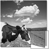 Cow Cloud Kingston  New York