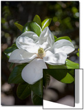 White Magnolia Blossom Close-Up 3