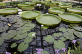 Water Lily Pond  Kew Gardens (Green House Lily Pond  England)
