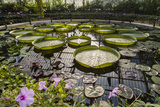 Water Lily Pond  Kew Gardens 2 (Green House Lily Pond  England)