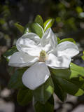 White Magnolia Blossom Close-Up 3