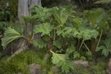 Gunnera Leaves (Botanical Garden  Golden Gate Park  San Francisco  CA)