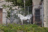 White Horse Behind Chain Link Fence (Farm Animal in Urban Setting  Philadelphia)
